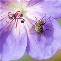Fly on Cranesbill