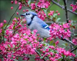 Blue Jay in Crabapple